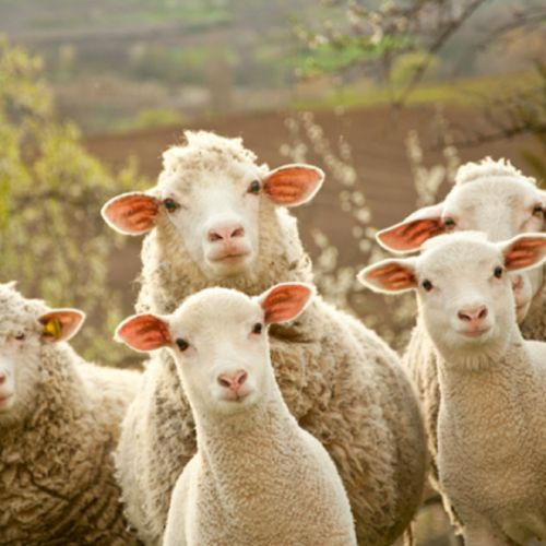 love one another sheep