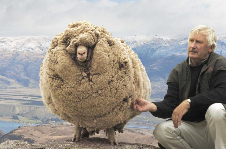 A New Zealand Sheep Avoided shearing for 7 years by hiding in caves.  Then he was Found, atnd shorn. May Lord temper the wind to the shorn lamb.
